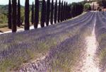Lavendel Südfrankreich