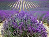 Lavendelfeld Provence