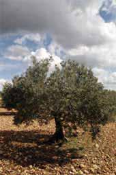 Olivenbaum Provence